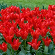 Tulip 'Madame Lefeber' - Red Emperor - Pack of 12 Bulbs