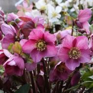Helleborus Madame Lemonnier - Winter Rose Hellebore in Bud and Bloom