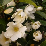 Michelia Magnolia Fairy Cream - New freely blooming evergreen Magnolia