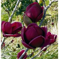 Magnolia Genie - Amazing Purple Black Magnolia - Giant Flowered Black Tulip Tree 120-150cm