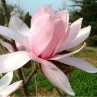 Magnolia Pink Beauty