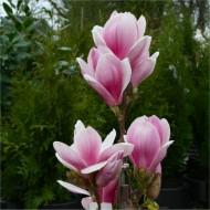 Magnolia Satisfaction - Flowered Tulip Tree