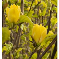 Magnolia Yellow Bird - Tulip Tree - Large 150-180cms