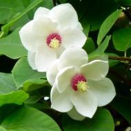Magnolia Sieboldii - Large Plant