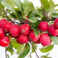 Malus Appletini® - Compact Mini Apple Tree