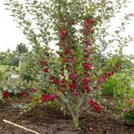 Malus Appletini® - Compact Mini Apple Tree - LARGE 100-150cms
