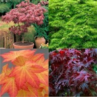 SPECIAL DEAL - Trio of Oriental Acers - Japanese Maple Collection - THREE PLANTS