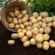 Marfona - 2nd Early Seed Potatoes - Pack of 10
