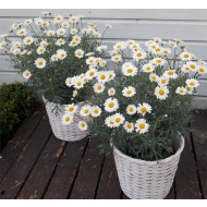PAIR of Giant Flowered Marguerite Daisy Bushes - Perfect for Patios - With Display BASKETS