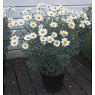 Argyranthemum frutescens - Giant Flowered Marguerite Daisy Bushes - Perfect for Patio or Garden