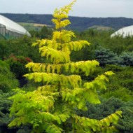 Metasequoia glyptostroboides Gold Rush - Approx 1.4m tall