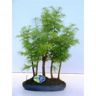 Metasequoia Bonsai Group in Ceramic Dish