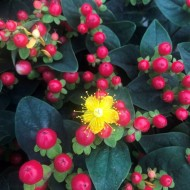 Hypericum Miracle Red