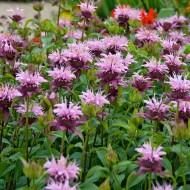 Monarda Beauty of Cobham - Bergamot - Bee Balm