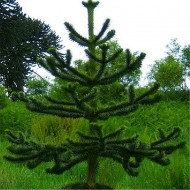 Monkey Puzzle Tree - Araucaria Araucana - Monkey Puzzle Tree - Medium