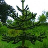 Monkey Puzzle Tree - Araucaria Araucana - Young Monkey Puzzle Tree