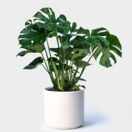Monstera deliciosa - Swiss Cheese Plant in White Display Pot