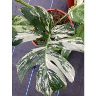 Monstera deliciosa variegata - Variegated Swiss Cheese Plant