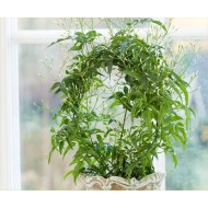 Perfumed Chinese Jasmin Trained on a Hoop in White Pot