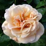Rose My Darling Husband - Bush Rose