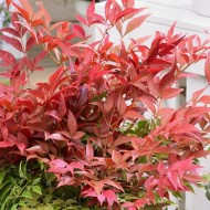 WINTER SALE - Nandina domestica Obsessed - Sacred Bamboo