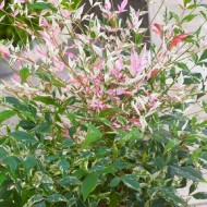 Nandina domestica Twilight