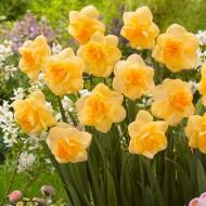 Daffodil - Narcissus Orange Juice
