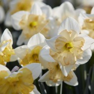 Daffodil - Narcissus Changing Colours