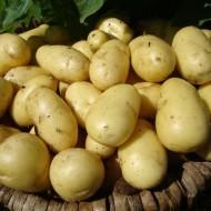 Nicola - Salad/Main Crop Seed Potatoes - Pack of 10