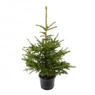 Fresh Christmas Tree - Traditional Potted Norway Spruce - 100-120cms - FOR IMMEDIATE DELIVERY