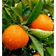 Large 80-100cms Citrus Tree - ORANGE - for tasty fresh fruit and Juice