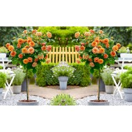 Pair of Standard ORANGE Flowering Patio Rose Trees 80-100cm tall