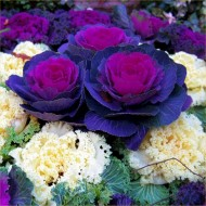 Ornamental Brassica Cabbages in Assorted Colours
