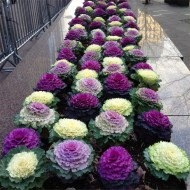 Ornamental Brassica Cabbage Selection - Pack of THREE Plants