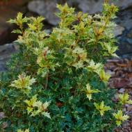 Osmanthus heterophyllus 'Goshiki' - False Holly