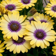 Osteospermum Blue Eyed Beauty - Cape Daisy