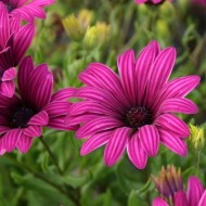 Osteospermum Nairobi Purple - Tresco Purple Cape Daisy