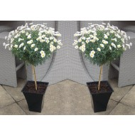 PAIR of Marguerite Giant Daisy Trees with Flared Planters - Perfect for Patios - LARGE Patio Standard Trees