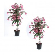 PRE-ORDER: Pair of Fuchsia Tree Standards 'Paula Jane' - Gorgeous Patio Fuchsia Trees