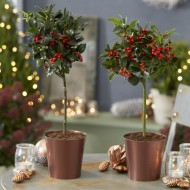 Pair of Festive Table Top Patio Holly Trees complete with real Berries in Copper Pots