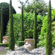 Pair of Van Gogh Tuscan Totem Pole Cypress Trees - Cupressus sempervirens 175-200cms - Large