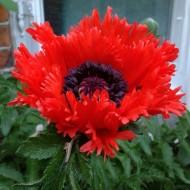 Papaver orientale Turkenlouis - Fringed Oriental Poppy