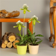 Elegant Ladies Slipper Orchid in Bloom - Paphiopedilum Green Striped - Lady Slipper Orchid in White Pot