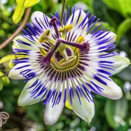 Passion Flower caerulea - Passiflora