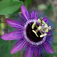 Passion Flower Purple Haze - Passiflora