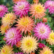 SPECIAL DEAL - Dahlia Cactus Pastel - Pack of THREE