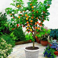 Dwarf Patio Apricot Tree - Prunus armeniaca