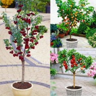 SPECIAL DEAL - Dwarf Patio Fruit Trees Collection - Apricot, Cherry & Peach