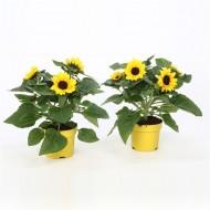 Patio Sunflowers in Bud - Helianthus annuus Sunblast