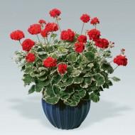 Pelargonium Caroline Schmidt - Large